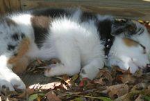 My next Dog - aussie / by Heather Oakes