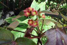 """Jatropha / is a genus of flowering plants in the spurge family, Euphorbiaceae. The name is derived from the Greek words ἰατρός (iatros), meaning """"physician,"""" and τροφή (trophe), meaning """"nutrition,"""" hence the common name physic nut.  It contains compounds that are highly toxic. / by Pamela Seeley Sorrels"""