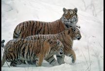Tiger <3 / by Pshiiit