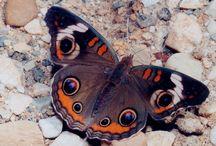 Butterflies / by Sondra Langland