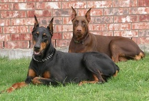 we raised doberman dogs, we had black and red ones, sweet dogs !!!! / by Debbie Tanner Kissel