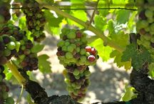 #harvest2013 / Wine Season / by Harvest Inn