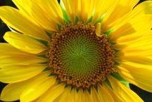 Sunflowers!! / by Kristen Johnson