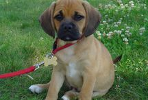 Why I Want a Puggle / by Chelsea Sinclair