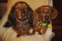 Oscar and Mayer / We are two dachshunds.  We like to run. Doxies are cool, don't u think? We have a #dogblog at http://oscarnmayer.com 