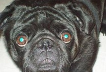 Pugs are the Greatest / by Richard Mansel