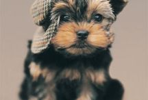Yorkies / by Tracy Edley