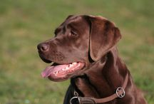 Love of Labs, Retrievers, and others / by Kathie Tisher