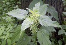 Edible and Medicinal Weeds / by Mthollow Farm