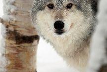 Wolves / by Krysta Hayes