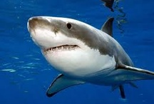 SHARKS / http://greatblogresults.com/ / by Dexter Roona