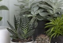 ( CACTUS : SUCCULENTS : ) / Cactus & Succulents beautiful plants / by Gillian Haberfield