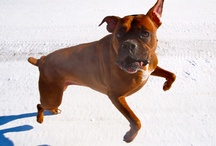 Boxer! / by Kristine Shirk