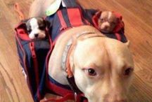 Pibbles (and others) / by Pam Grosvenor-Brown