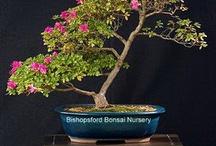 Bonsai Trees / by Lisa Thelin