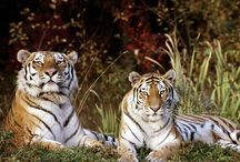 Love Them Tigers / by Christi Carruth
