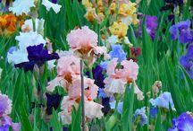 Irises / Favorite Flower / by Julie Eichhorst