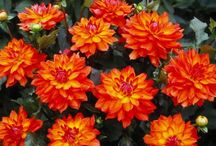 Orange Flowers / by Karen Cruse