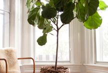 Fig Tree Pot Ideas / by Veronique Chiasson