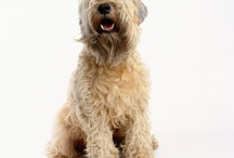 Irish sort coated wheaten terrier / Beautiful dog! / by Kirsten Barouch
