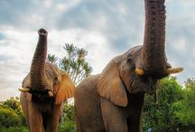 love pachyderms! / Elephants  / by Maya Brown