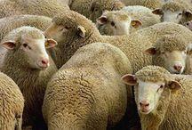 sheep / by Sheila Minnich