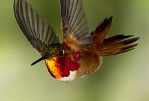 hummingbirds / by Susan Schmieding