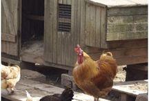 Backyard Chickens / by Katie Granju