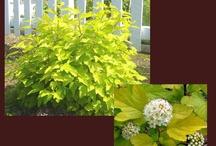 Deciduous Shrubs / by Lawncare Plus Design~Landscaping Hardscaping Patios Gardening