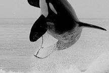 Orcas ❤ / by Jackie @AmidorableCrochet
