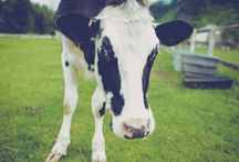 I love cows!  {and tractors, and boots} / cows, tractors & boots! / by Tamila Morgan