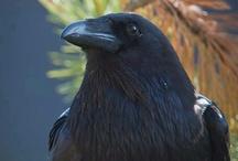 Crows / by Jennifer Dyer