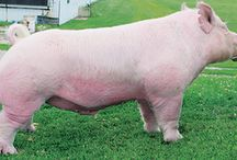 2015 Boars / Boars we're using for 2015 show pigs / by Rob Timmins