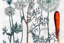 Botanical Illustrations / by Caroline