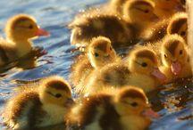 Ducks / by Cindy Reeves Brown
