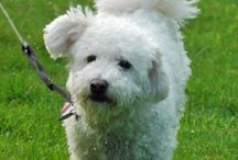 Brave Bichon Frises / by The Daily Puppy