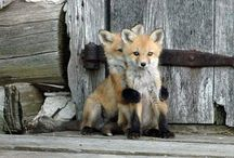 Foxes (My favorite) / by Nancy Wilson