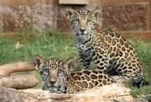 Jaguar Cubs / by Tulsa Zoo