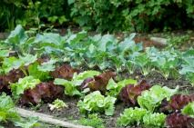 Vegetable Gardening / Learn how to grow a successful vegetable garden / by garden-planting-tips.com