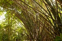 Trees of Belize / There are many varieties of tropical exotic trees that make up the jungles of Belize. Here are a few of our favorites for you to enjoy! #robertsgrove  http://www.robertsgrove.com/ / by Robert's Grove Beach Resort = 5 Star Padi Diving