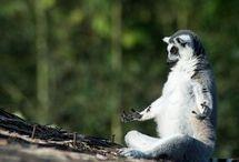 Lemur / by Bonnie Gantz