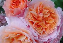 Roses / by Cindy Countie