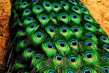 Peacock / by Gloria Erickson