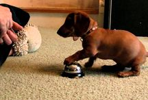 dachshund love <3 / by Taylor Hallahan