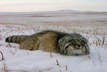 Animals - Wildcats / by David James