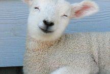 Sheep / by Leslie Schifer