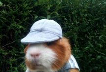 Guinea pigs / by Deena Messick-Fitzgerald