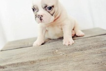 Frenchie / by Violet. T