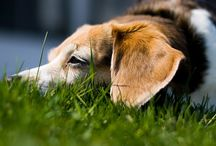 Beagles / by Andrea Uher