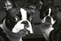 We Love Boston Terriers / by BU School of Education